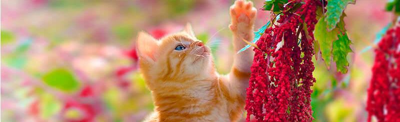 Quinoa_mačka.jpg